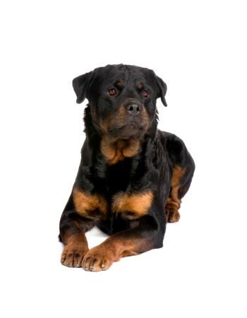 ร็อตไวเลอร์ - Rottweiler