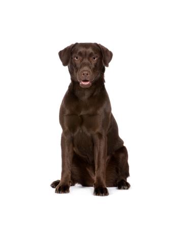 ลาบราดอร์รีทรีฟเวอร์ - Labrador Retriever