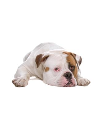 อเมริกันบูลล์ด็อก - American Bulldog