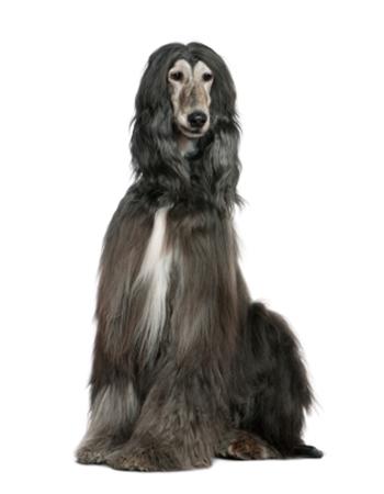 อัฟกัน ฮาวนด์ - Afghan Hound