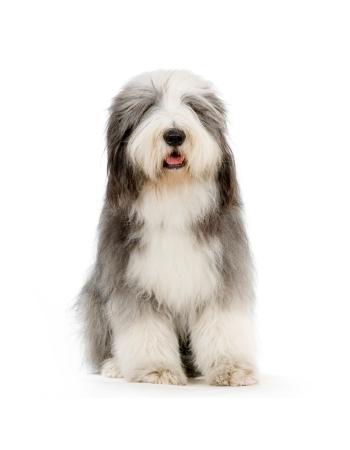 โอลด์อิงลิชชีปด็อก - Old English Sheepdog