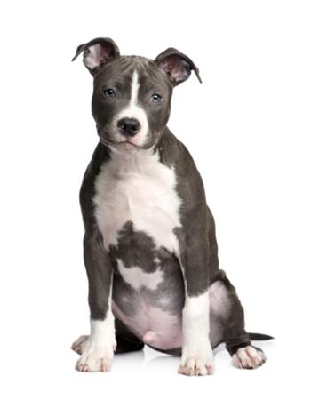 อเมริกัน พิทบูลเทอร์เรีย - American Pit Bull Terrier