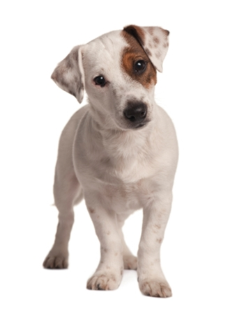 ����������������� - Jack Russell Terrier