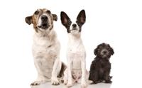 อื่น ๆ / พันธุ์ผสม - Mixed-breed dog