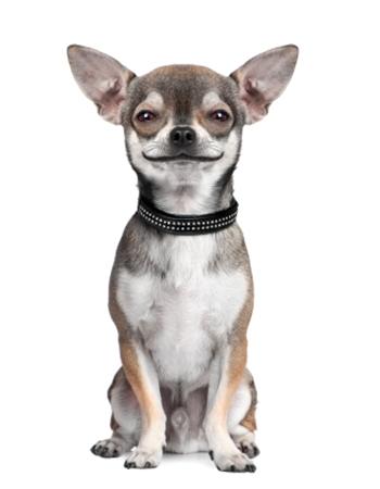 ชิวาวา - Chihuahua